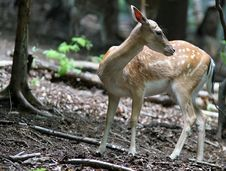 Free Brown Fallow Deer In Forest Royalty Free Stock Photos - 1713058