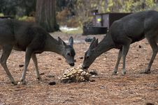 Free Mule Deer Does Eating Royalty Free Stock Images - 1714019
