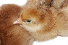 Baby Chick Stock Photography