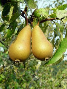 Free Pears Royalty Free Stock Photos - 1714668