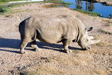 Free White Rhinoceros Royalty Free Stock Photo - 1714885