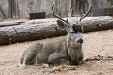 Mule Deer Laying Down Royalty Free Stock Images