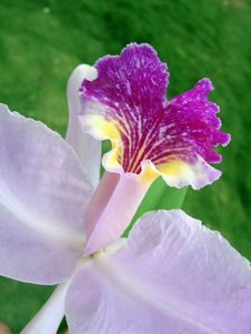 Free Tropical Flower - Purple Orchid Detail Royalty Free Stock Photography - 1716987