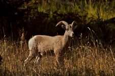 Free Bighorn Ram Royalty Free Stock Photo - 1717485
