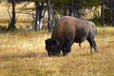 Free Bison Grazing Royalty Free Stock Photos - 1717498