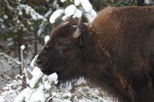 Free Bison Staring Stock Photos - 1717503