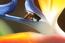Free Bee On Bird Of Paradise Stock Image - 1717521
