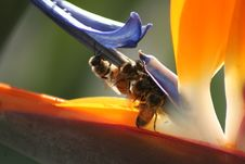Free Bee On Bird Of Paradise Stock Photos - 1717523