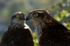 Free Two Hawks Royalty Free Stock Photo - 1719465