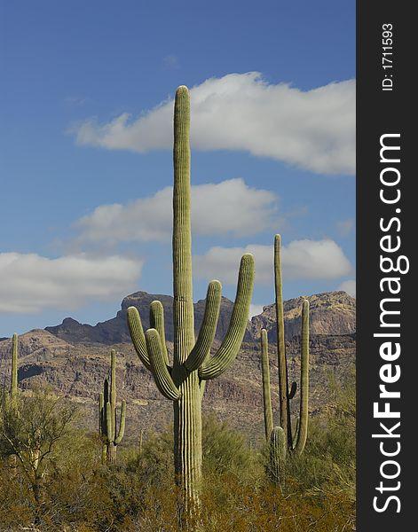 Saguaro Cactus at Organ Pipe