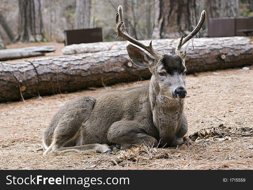 Mule deer laying down