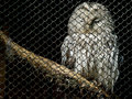 Free Owl Royalty Free Stock Images - 17100179