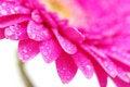 Free Beautiful Gerbera Royalty Free Stock Image - 17107436