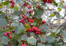 Free Red Ash-berry Stock Photos - 17100293