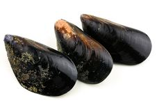 Free Mussel Royalty Free Stock Images - 17104099