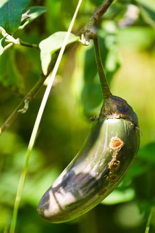 Free Eggplant Royalty Free Stock Image - 17104156