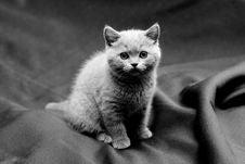 Free British Shorthair Blue Kitten Stock Photos - 17105243