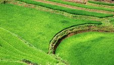 Free Rice Fields In Vietnam Stock Images - 17105324