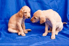 Free Two Saluki Pups Stock Photos - 17105643