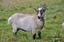Free Goat Stock Image - 17106051
