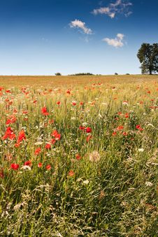 Free Poppy Field Royalty Free Stock Photos - 17108128