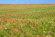 Free Poppy Field Royalty Free Stock Photos - 17108188
