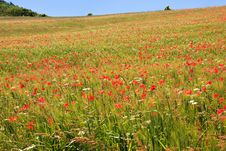 Free Poppy Field Royalty Free Stock Photos - 17108328