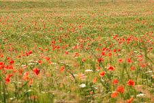Free Poppy Field Royalty Free Stock Photos - 17108498