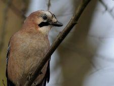 Free Eurasian Jay (Garrulus Glandarius) Stock Photos - 17109163