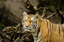 Free Siberian Tiger ( Panthera Tigris Altaica ) Royalty Free Stock Photos - 17110168