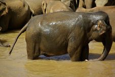 Free Elephant In River Royalty Free Stock Photo - 17111515