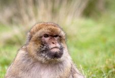Free Macaque Stock Image - 17111691