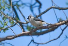 Free Tufted Titmouse (Baeolophus Bicolor) Royalty Free Stock Images - 17111799