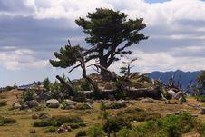 Free Mountain Pine Stock Images - 17112054
