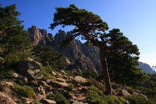 Free Mountain Pine Stock Image - 17112231