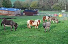 A Group Of Miniature Donkeys And Shetland Ponies Royalty Free Stock Photos