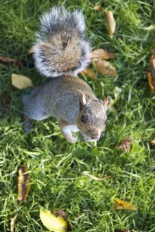 Squirrel Waiting For More Food Stock Photography