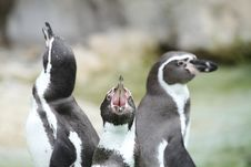 Free Cry Of A Penguin Stock Photos - 17113633