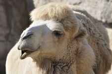 Free Camel In Zoo Royalty Free Stock Photo - 17115055