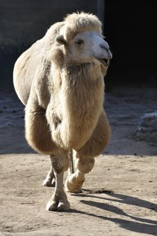 Free Camel In Zoo Royalty Free Stock Photo - 17115075