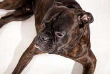 Free Boxer Dog Royalty Free Stock Image - 17115286