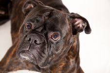 Free Boxer Dog Stock Photography - 17115292