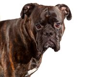 Free Boxer Dog Royalty Free Stock Image - 17115306