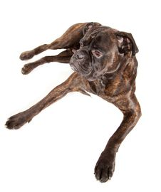 Free Boxer Dog Stock Photo - 17115310