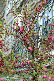 Free Japanese Cherry Tree In Blossom Time. Stock Image - 17115451