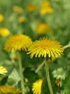 Free Wild Dandelions In The Meadow Royalty Free Stock Image - 17116616