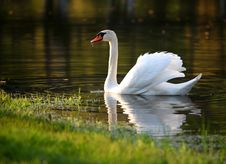 Free Swan In Lake Stock Image - 17118631