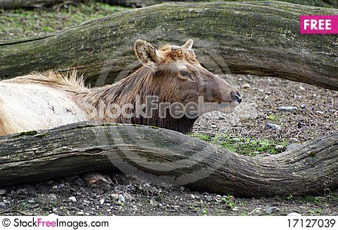 Free Red Deer (Cervus Elaphus) Royalty Free Stock Images - 17127039