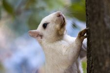 Free White Squirrel Portrait Royalty Free Stock Image - 17121516