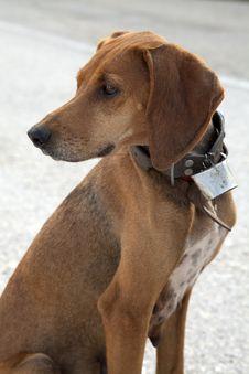 Free Hunting Dog Stock Image - 17122971